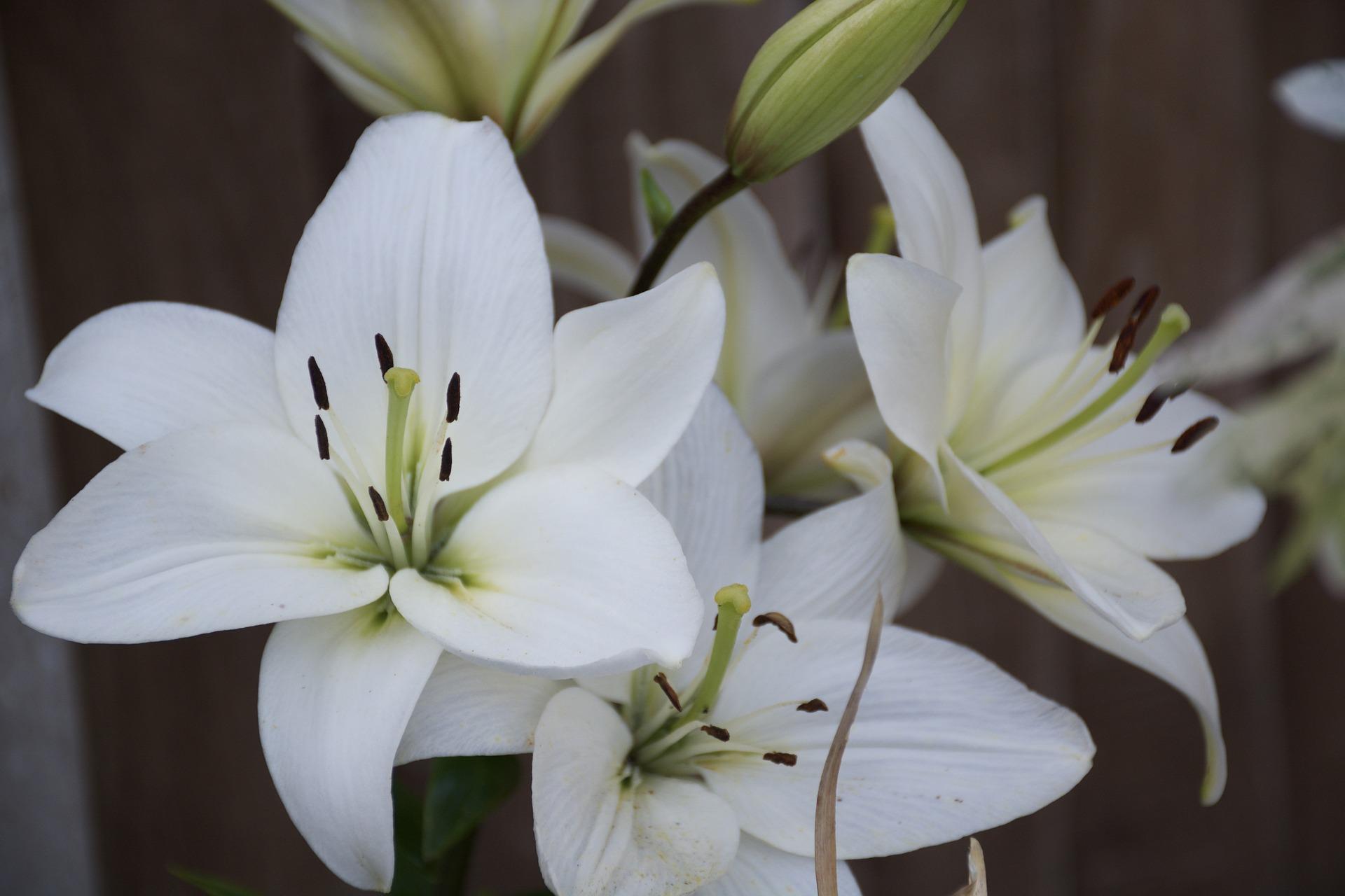 بالصور صور ورد ابيض اجمل صور ورود بيضاء متحركة صور زهور و ورد باللون الابيض . بوكيه للورود باللون الابيض 4563 5