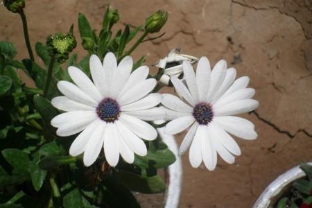 بالصور صور ورد ابيض اجمل صور ورود بيضاء متحركة صور زهور و ورد باللون الابيض . بوكيه للورود باللون الابيض 4563 7