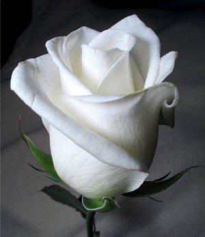 بالصور صور ورد ابيض اجمل صور ورود بيضاء متحركة صور زهور و ورد باللون الابيض . بوكيه للورود باللون الابيض 4563 9