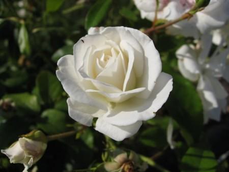 بالصور صور ورد ابيض اجمل صور ورود بيضاء متحركة صور زهور و ورد باللون الابيض . بوكيه للورود باللون الابيض 4563