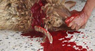 صور حلم ذبح خروف