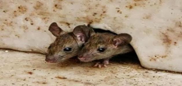 صور كيفية التخلص من الفئران نهائيا , طرق كيفية التخلص من الفئران نهائيا