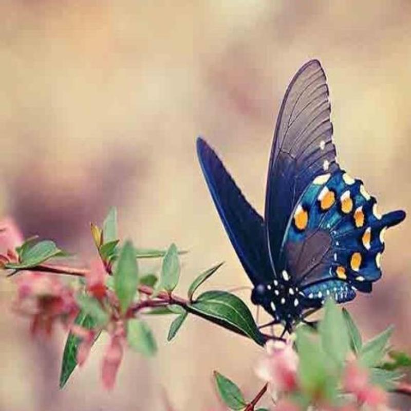 بالصور فراشات جميلة جدا , اجمل فراشات جميلة جدا 11463 10
