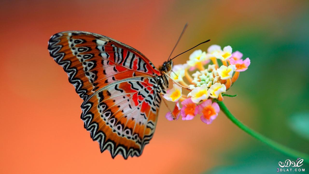 بالصور فراشات جميلة جدا , اجمل فراشات جميلة جدا 11463 6