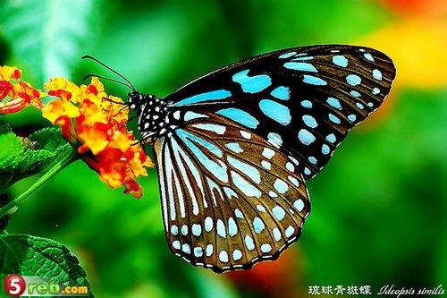 بالصور فراشات جميلة جدا , اجمل فراشات جميلة جدا 11463 7