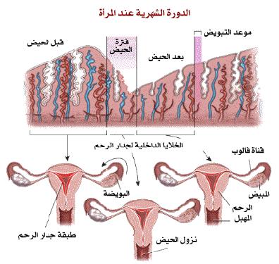 صورة ما هي الدورة الشهرية للبنات , الحيض ودورته في رحم المراة