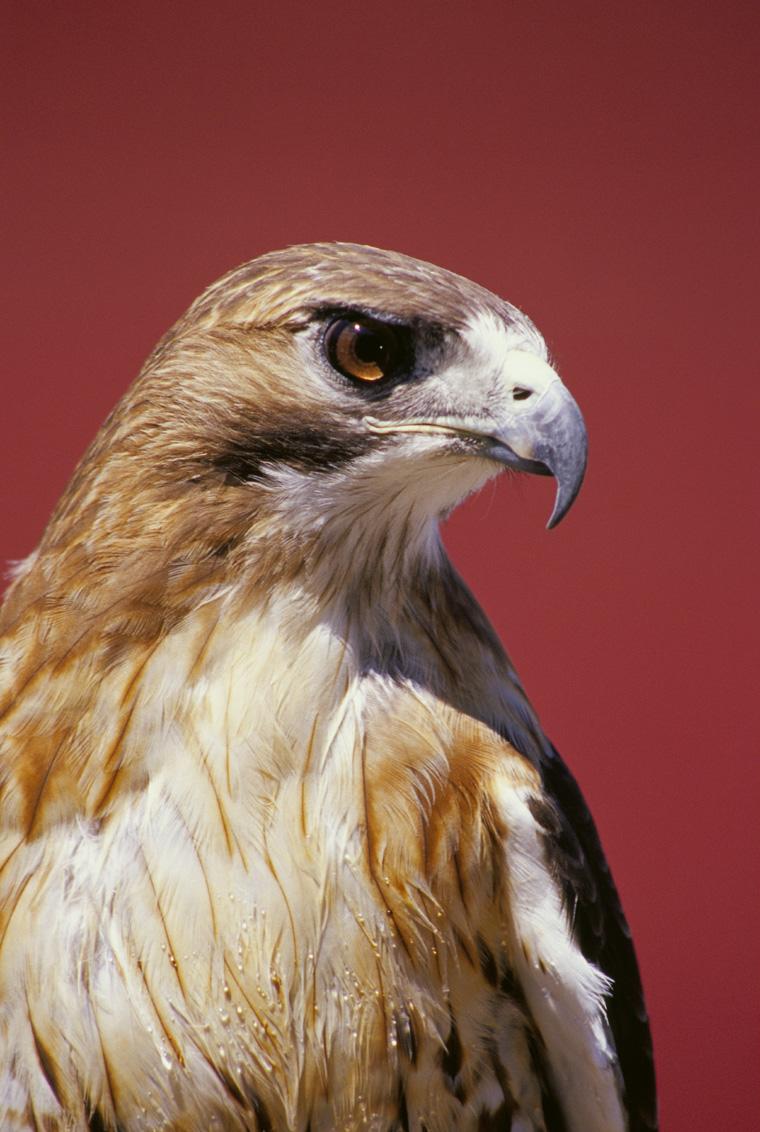 صورة الفرق بين الصقر والنسر , النسر والصقر طيور لها عظمة تعرف على الفرق بينهما 12523 1