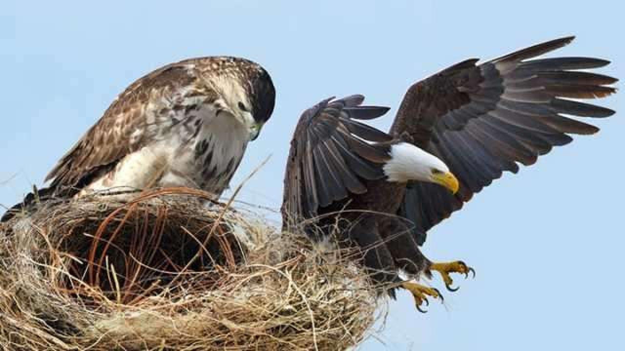 صورة الفرق بين الصقر والنسر , النسر والصقر طيور لها عظمة تعرف على الفرق بينهما 12523 2