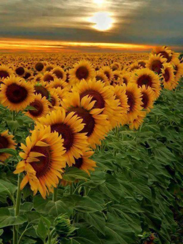 صور و رد عباد الشمس, احلى صور الورد 2020  احلى الصور