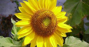 صورة صور ورد عباد الشمس, اجمل صور الورد 2020